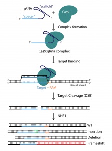 A step-by-step diagram of the CRISPR/Cas9 mechanism.
